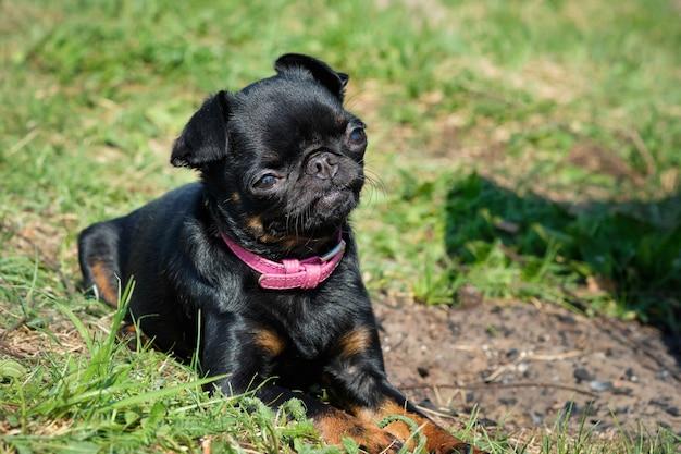 Portrait of black petit brabancon on the green grass