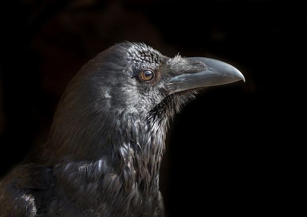 Portrait of black raven on black background.