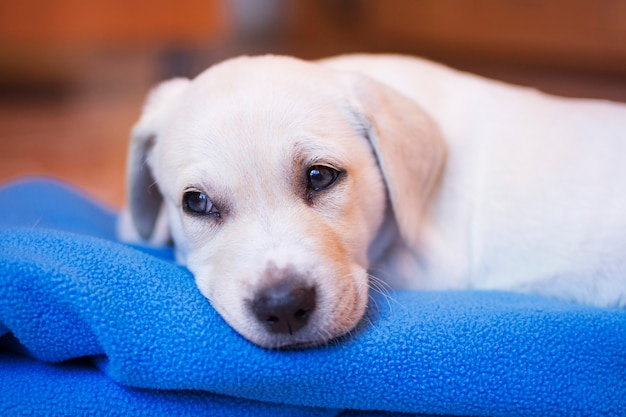 Portrait of a blond labrador retriever puppy lying on his blanket, with his face sleepy.