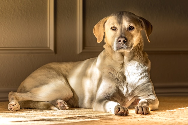 Portrait of a blonde female labrador retriever indoors lying on a carpet