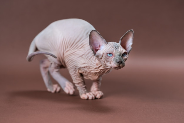 Portrait of blue mink and white color canadian sphinx cat  months old with blue eyes playful on brow...