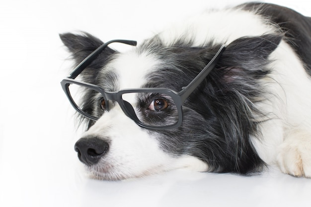 Portrait border collie dog lying down wearing black glasses. isolated on white  background