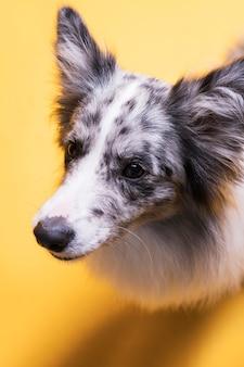 Portrait of border collie dog