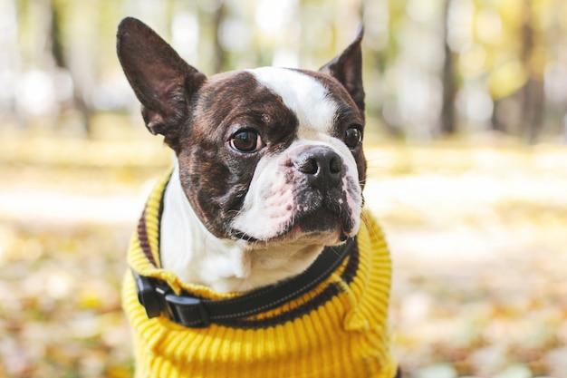 Portrait of boston terrier dog in the autumn park