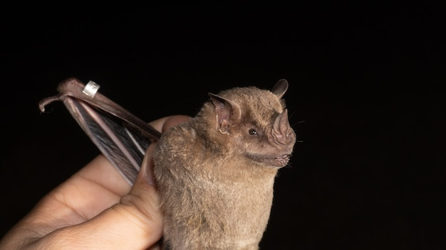 Portrait of brazilian bat, fringed fruit-eating bat is a species from south america