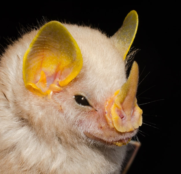 Portrait of brazilian bat, macconnell's bat  (mesophylla macconnelli).
