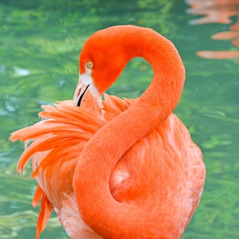 Portrait of a bright coral colored flamingo grooming feathers
