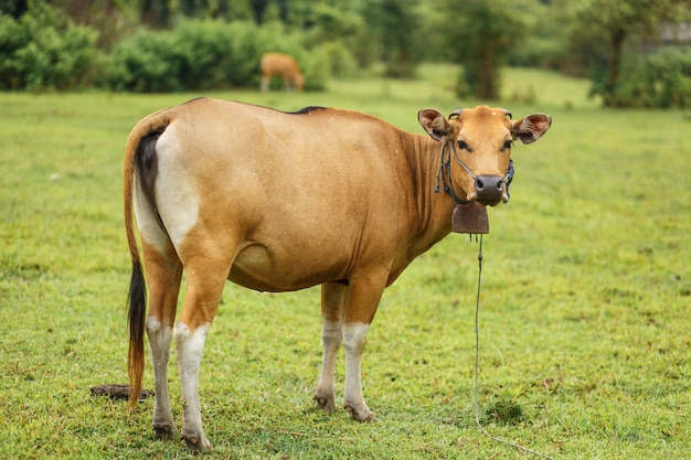 Portrait brown color cow grazing in a meadow
