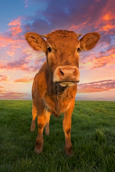 Portrait of brown cow in the field