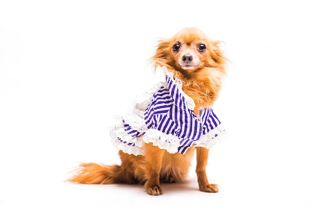 Portrait of brown dog dressed with stripped pet clothing