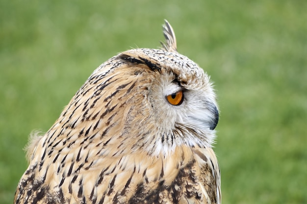 Portrait of a brown great horned owl in a park