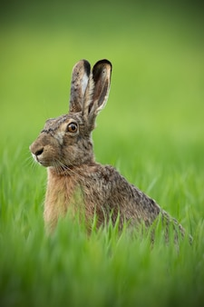 Portrait of brown hare with clear blurred green