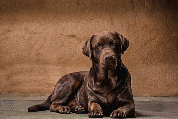 The portrait of a brown labrador retriever dog