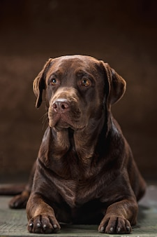 The portrait of a brown labrador retriever dog