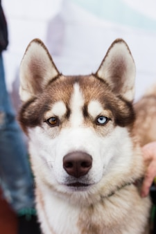 The portrait of a brown siberian husky dog with multi-colored eyes outdoors on