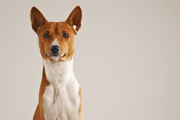 Portrait of a brown and white basenji dog wearing white earbuds looking into the camera isolated on white