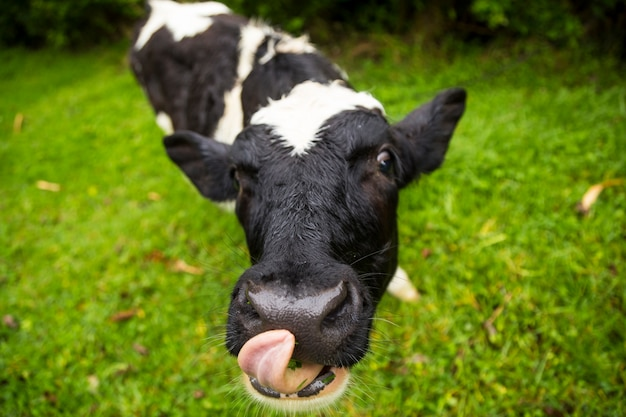 Portrait of calf sticking out its tongue on glass
