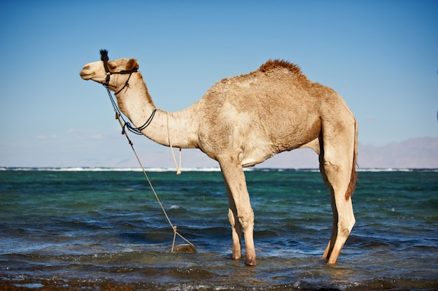 Portrait of a camel on the beach against the sea