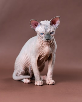 Portrait of canadian sphynx cat of blue mink and white color with blue eyes lovely hairless female c...