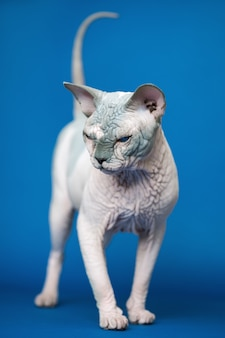 Portrait of canadian sphynx cat  breed of cat known for its lack of fur on blue background
