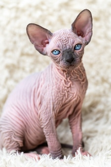 Portrait of canadian sphynx cat kitten with big blue eyes looking at camera sitting on white carpet