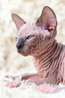 Portrait of canadian sphynx cat kitten with big blue eyes lying on white carpet with long pile