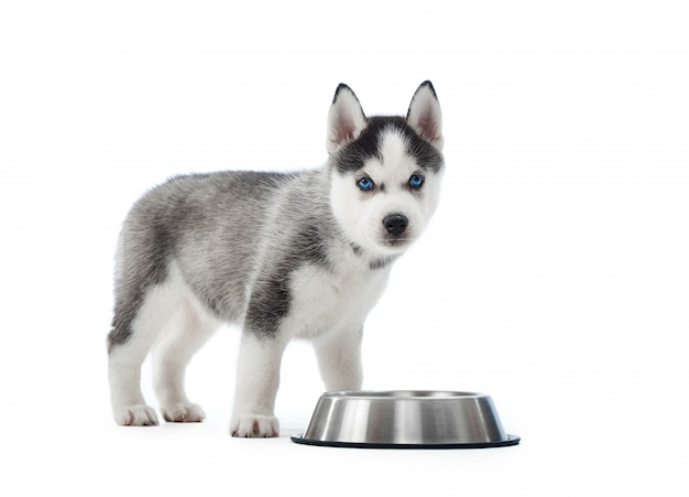 Portrait of carried and cute puppy of siberian husky dog standing near silver plate with water or food. little funny dog with blue eyes, gray and black fur. .