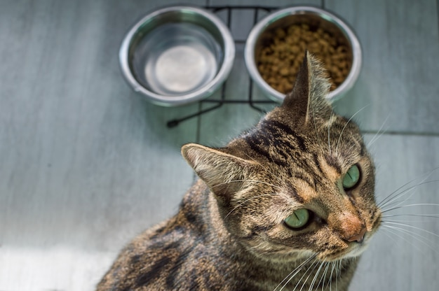 Portrait of a cat on a gray floor with water and dry food close up