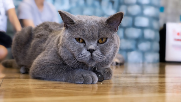 Portrait of a cat scottish straight, closeup