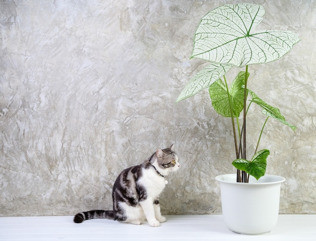 Portrait  cat on wood table with air purify  house plants caladium bicolor vent,araceae,angel wings,eelphant ear in white pot cement wall background