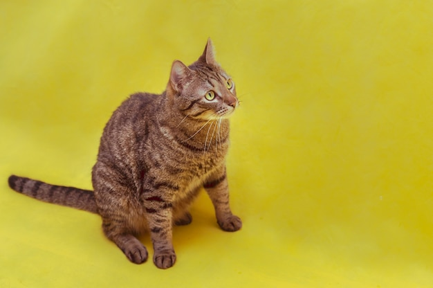 Portrait of a cat on a yellow background in the studio.