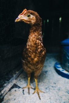 Portrait of chicken in the coop