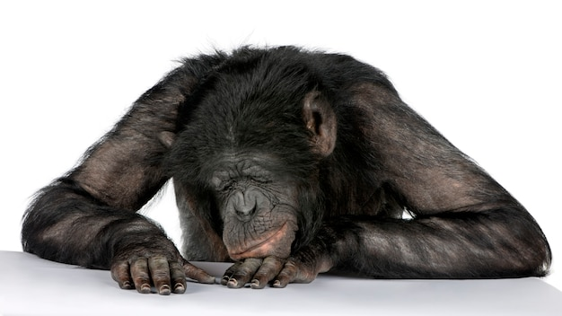 Portrait of chimpanzee on white isolated. (mixed-breed between chimpanzee and bonobo)
