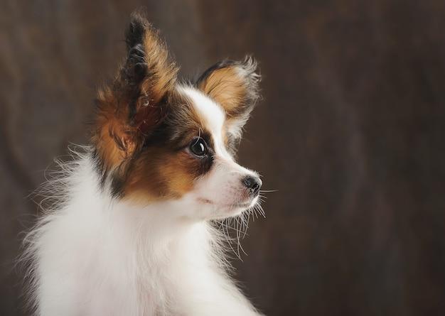 Portrait close-up of puppy papilion on dark brown background.
