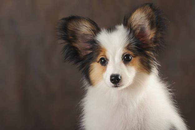 Portrait close-up of puppy papilion on dark