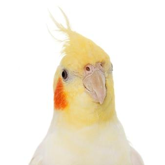 Portrait of cockatiel