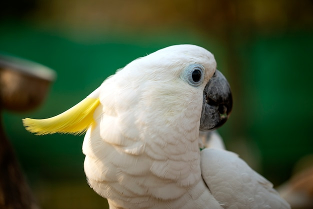 Portrait of cockatoo parrot, yellow-crested cockatoo white parrot head close-up