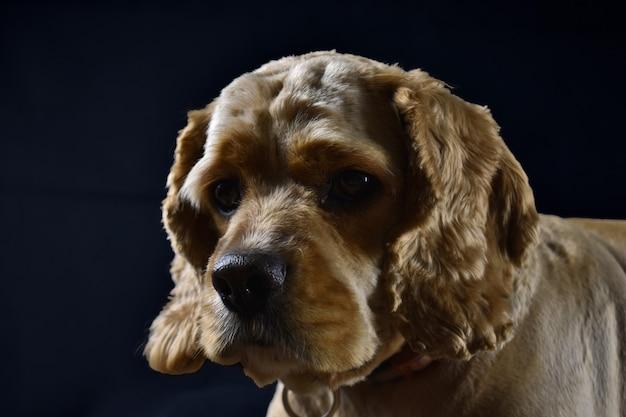 Portrait of a cocker spaniel dog