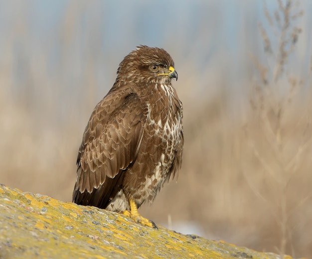 Portrait of common buzzard on the stone.