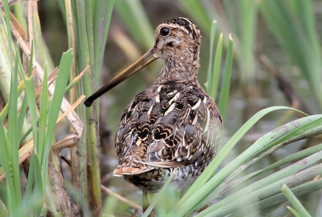 Portrait of a common snipe from the back