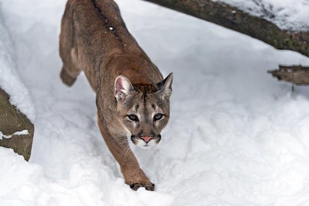 Portrait of a cougar, mountain lion