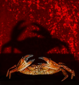 Portrait of a crab on red background