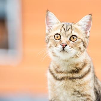 Portrait of cute asian brown cat