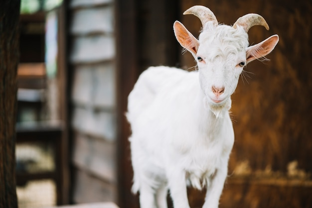 Portrait of a cute baby goat in the barn