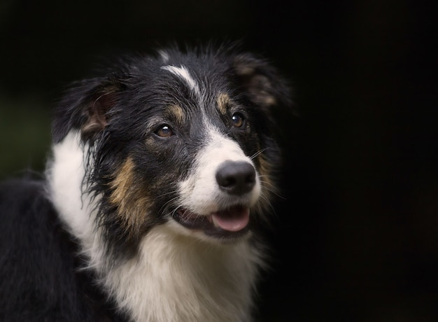 Ritratto di un simpatico border collie cane di razza sul nero