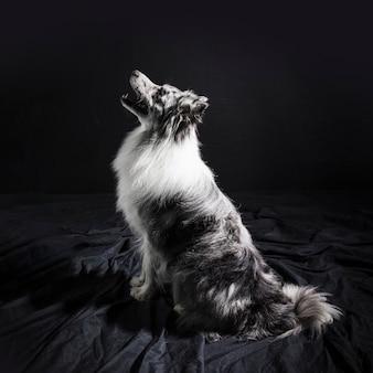 Portrait of cute border collie dog