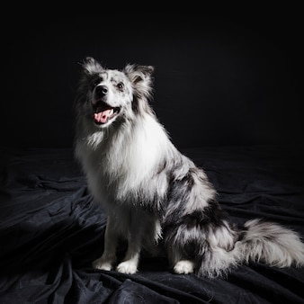 Portrait of cute border collie dog