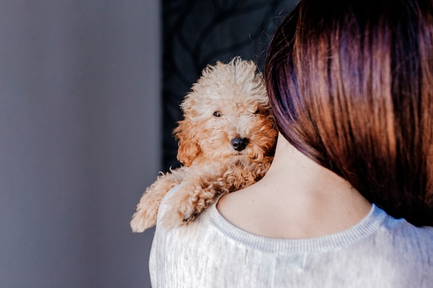 Portrait of a cute brown toy poodle with his young woman owner at home, daytime, indoors.