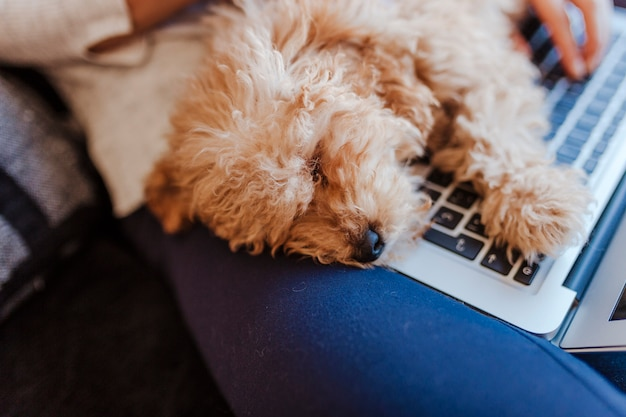 Portrait of a cute brown toy poodle with his young woman owner at home. sleeping on laptop. daytime, indoors.