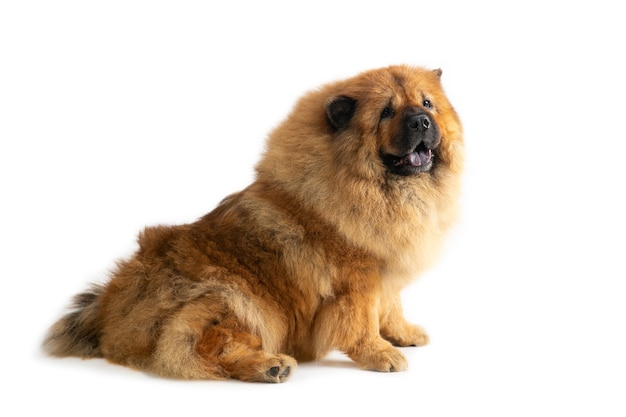 Portrait of cute chow chow dog sitting on the floor with tongue sticking out
